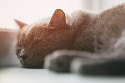 Fototapet grå katt sover på fönstret, vintage tonade