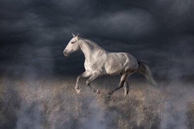 Fototapet Grå Lusitanian häst run