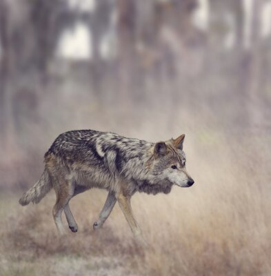 Fototapet Grå Wolf (Canis lupus)