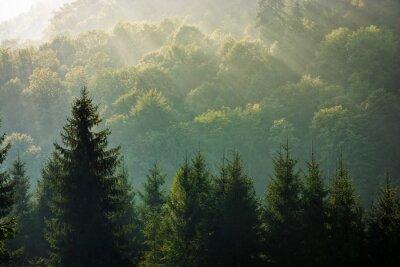 Fototapet granskog på dimmig soluppgång i bergen