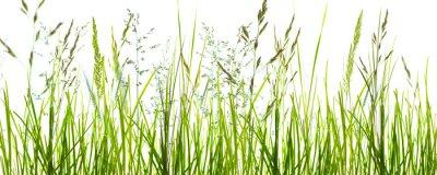 Fototapet Gräser, grashalme, wiese vor weißem hintergrund