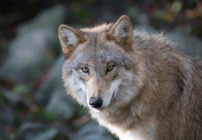 Fototapet Grauer Wolf porträtt 3