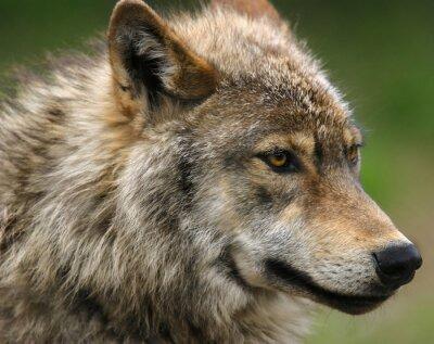 Fototapet Gray Wolf huvud skott.
