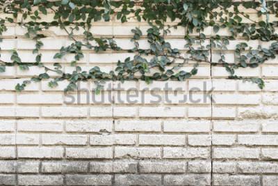 Fototapet Green Creeper Plant växer på gammal tegelvägg