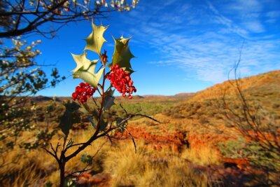Fototapet Grevillea wickhamii i Trephina Gorge, Australien