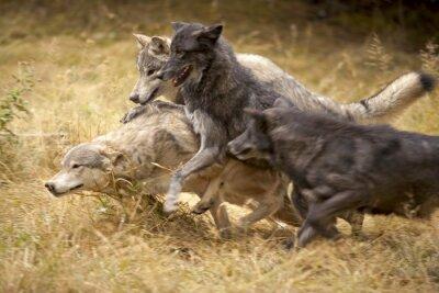 Fototapet Grey Wolf Pack på Play