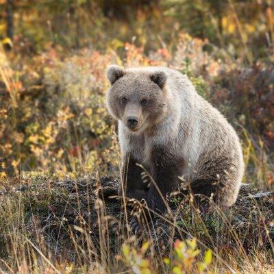 Fototapet Grizzlybjörn i höstfärger på Alaska
