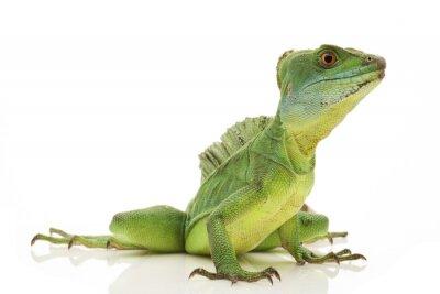 Fototapet gröna Basilisks