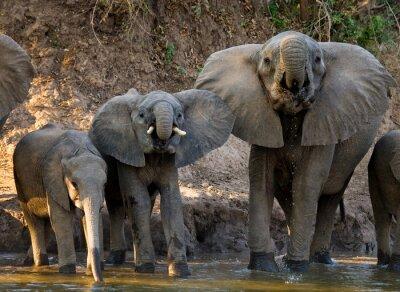 Fototapet Grupp av elefanter som står nära vattnet. Zambia. Lower Zambezi National Park. Zambezifloden. En utmärkt illustration.