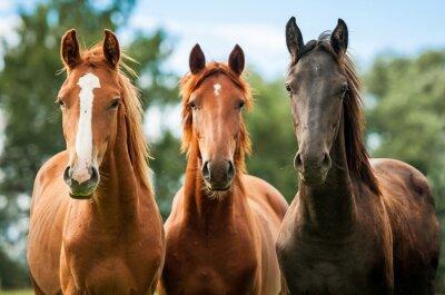 Fototapet Grupp av tre unga hästar på bete