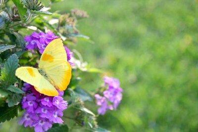 Fototapet Gul fjäril på Lila blommor Bakgrund