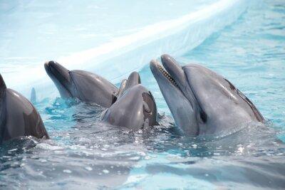 Fototapet gulliga delfiner under ett tal vid delfinarium