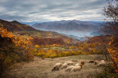 Fototapet Gyllene höst / fantastisk höst av en berg äng i centrala Balkanbergen, Bulgarien