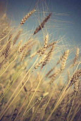 Fototapet gyllene vetefält och solig dag