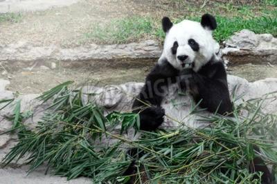 Fototapet Härlig panda äter bambu