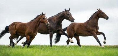 Fototapet Hästar galopperande i ett fält