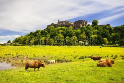 Fototapet Highland ko framför Stirling Castle. Typisk skotsk höglandskoe. Stirling, Skottland, Storbritannien