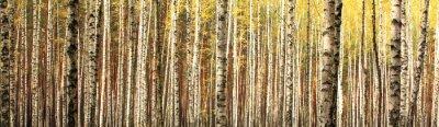 Fototapet höst björkskog landskap panorama