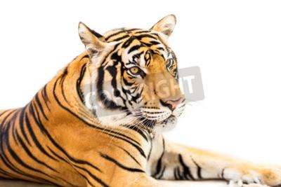 Fototapet Hukande ung siberian tiger isolerade på vit bakgrund