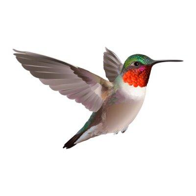Fototapet Hummingbird - Colubris Archilochos. Handritad vektor illustration på vit bakgrund av en flygande Ruby-troathed kolibri med färgrik glansig plumage.