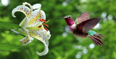 Fototapet Hummingbird svävar bredvid lilja blommor panoramautsikt