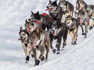 Fototapet Iditarod slädhundar