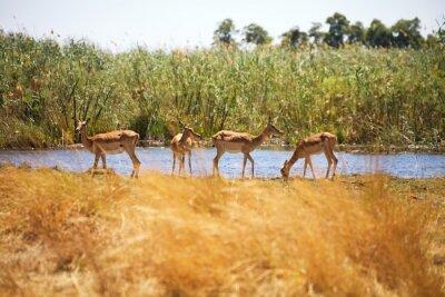 Fototapet Impala, Aepyceros melampus, Bwabwata National Park, Namibia