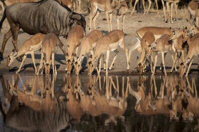 Fototapet Impala (Aepyceros melampus) del Timbavati naturreservat i Sud Afrika