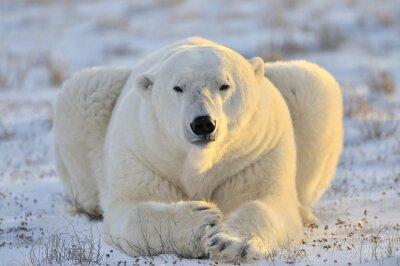 Fototapet Isbjörn liggande på tundran.