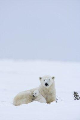 Fototapet Isbjörn med ungar