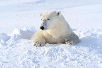 Fototapet Isbjörn mor kommer ut nyöppnad den