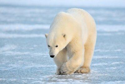 Fototapet -isbjörn På blå is.
