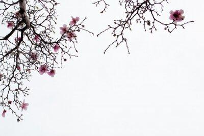 Fototapet Japansk magnolia Blossoms på vit bakgrund