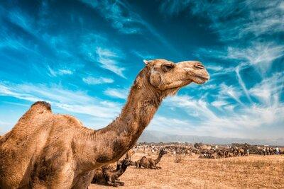 Fototapet Kamel i Indien