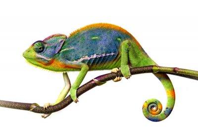 Fototapet kameleont