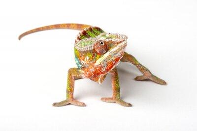 Fototapet Kameleont på en vit bakgrund