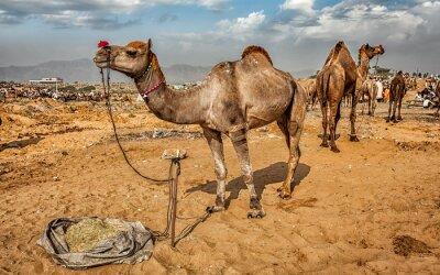 Fototapet Kameler på Pushkar Mela Camel Fair, Indien