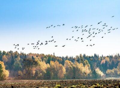 Fototapet Kanadensiska gäss migration
