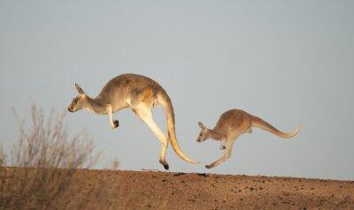 Fototapet kängurur i Sturt National Park, New South Wales, Australien