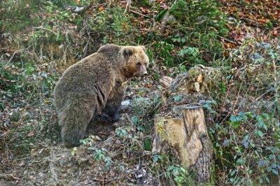 Fototapet Karpaterna Brown Bear
