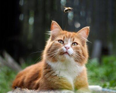 Fototapet Katten tittar flykt humlan. Katt stor, röd och fluffig. Konceptuellt - djur friluftsliv. Katt jagar insekter. Insektsbett och allergier hos djur