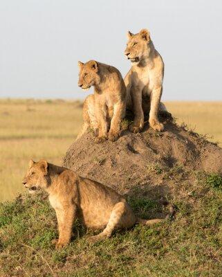 Fototapet Kenya, Afrika, Masai Mara reserv, lejonhona med ungar.