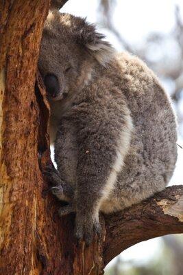 Fototapet Koala sova under dagen