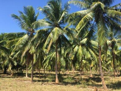 Fototapet Kokossträd