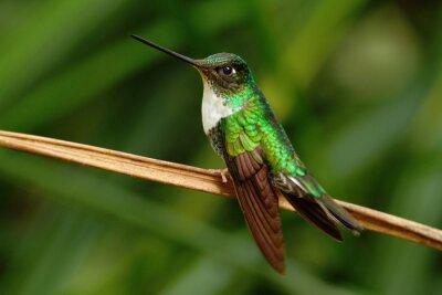 Fototapet Krage Inca, inkor torquata, kolibri från Mindo skog, fågel i Ecuador