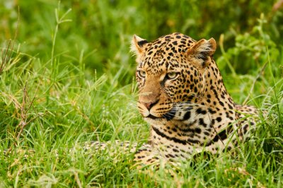 Fototapet Kvinnlig leopard porträtt
