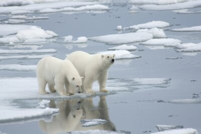 Fototapet Kvinnlig polar björn med Yearling Cub