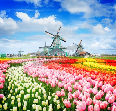 Fototapet landscape with traditional Dutch windmills of Zaanse Schans and rows of tulips, Netherlands, retro toned