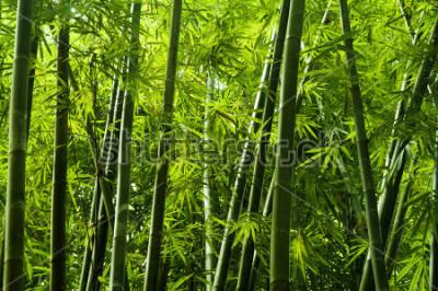 Fototapet Lanscape av bambu träd i tropisk regnskog, Malaysia