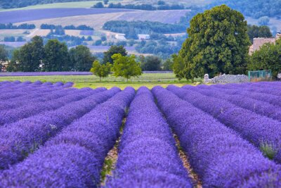 Fototapet Lavander fält i Provence